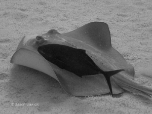 Stingray with a buddy was right under the boat in 50 ft o... by Jason Sawicki
